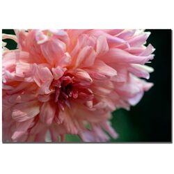 Pink Dhalia by Kurt Shaffer, Canvas Art - 16