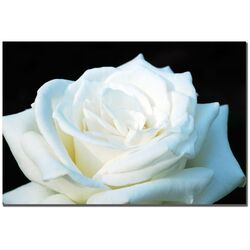 White Rose II Photographic Print on Canvas by Kurt Shaffer