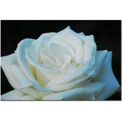 'White Rose Beauty 2' by Kurt Shaffer Photographic Print on Canvas