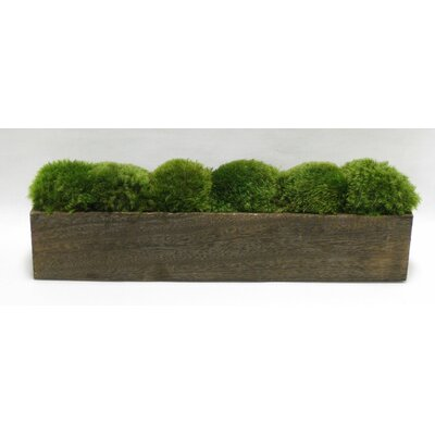 Moss in Stained Wooden Container Base Color: Brown Stain