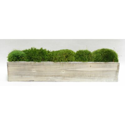 Moss in Stained Wooden Container Base Color: White Stain