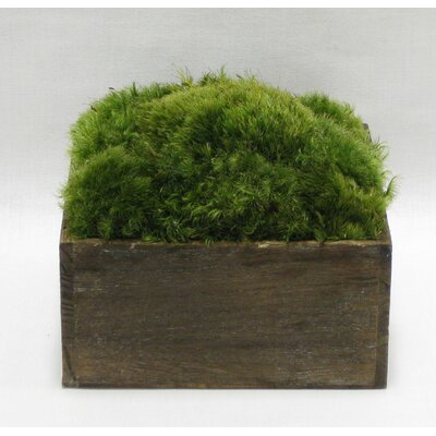 Moss in Stained Wooden Container