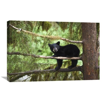 Nature Photographs Black Bear Cub in Tree Along Anan Creek, Tongass National Forest, Alaska by Matthias Breiter Photographic Print on Canvas Size: 20
