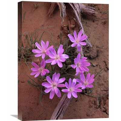 Nature Photographs Desert Chicory Close Up of Bloom, North America by Tim Fitzharris Photographic Print on Canvas Size: 24