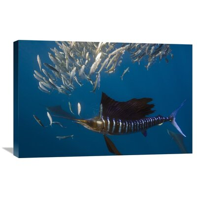 Nature Photographs Atlantic Sailfish Hunting Round Sardinella, Isla Mujeres, Mexico Photographic Print on Canvas Size: 20