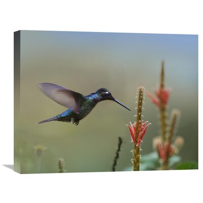 Nature Photographs Magnificent Hummingbird Male Foraging, Costa Rica by Tim Fitzharris Photographic Print on Canvas Size: 20