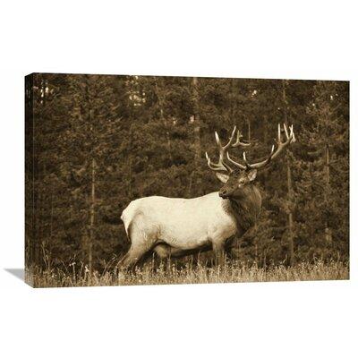 Nature Photographs Elk or Wapiti Male Portrait, North America - Sepia Photographic Print on Canvas Size: 24