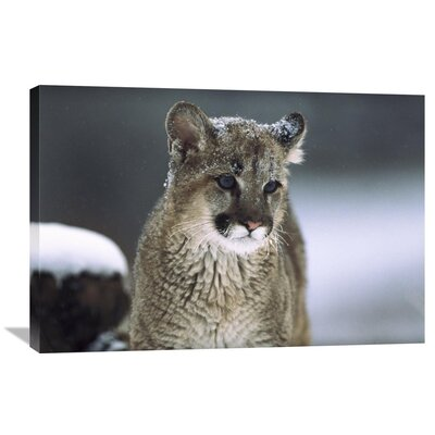 Nature Photographs Mountain Lion Cub in Snow, Montana Photographic Print on Wrapped Canvas GCS-451949-2436-142