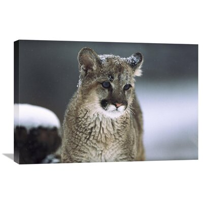 Nature Photographs Mountain Lion Cub in Snow, Montana Photographic Print on Wrapped Canvas GCS-451949-2030-142