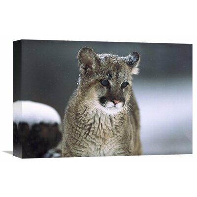 Nature Photographs Mountain Lion Cub in Snow, Montana Photographic Print on Wrapped Canvas GCS-451949-1218-142