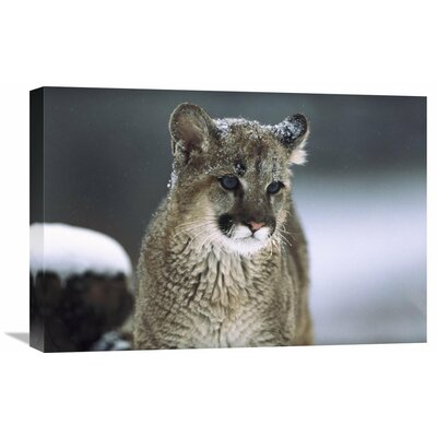 Nature Photographs Mountain Lion Cub in Snow, Montana Photographic Print on Wrapped Canvas GCS-451949-1624-142