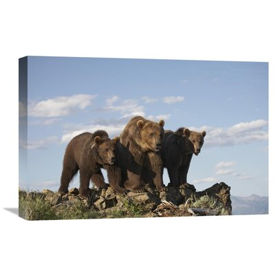 Nature Photographs Grizzly Bear with Two One-Year-Old Cubs, North America by Tim Fitzharris Photographic Print on Canvas Size: 16