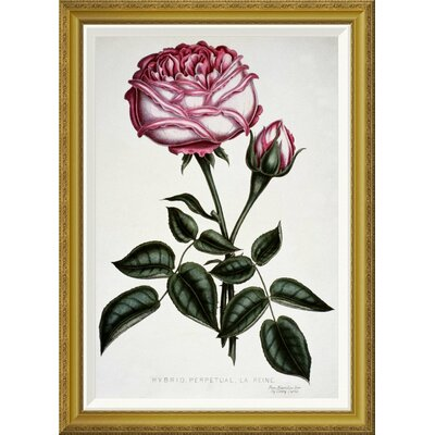 'Hybrid, Perpetual, La Reine' by Henry Curtis Framed Graphic Art