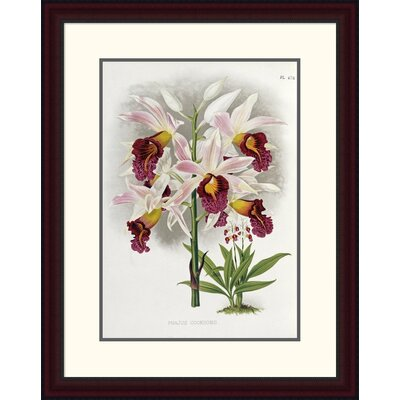 'Phajus Cocksonii' by Robert Warner Framed Painting Print Size: 30