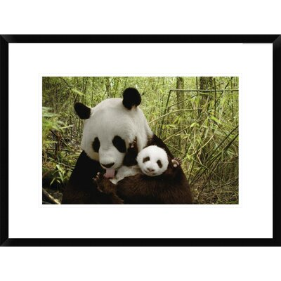 "Giant Panda Gongzhu and Cub in Bamboo Forest, Wolong Nature Reserve, China by Katherine Feng Framed Photographic Print Size: 18"" H x 24"" W x 1.5"" D DPF-395898-1218-266"