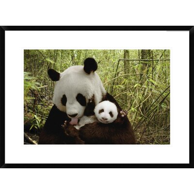 "Giant Panda Gongzhu and Cub in Bamboo Forest, Wolong Nature Reserve, China by Katherine Feng Framed Photographic Print Size: 22"" H x 30"" W x 1.5"" D DPF-395898-1624-266"