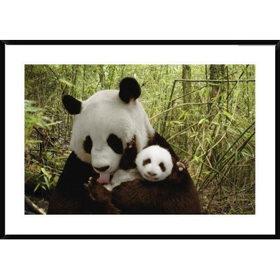 "Giant Panda Gongzhu and Cub in Bamboo Forest, Wolong Nature Reserve, China by Katherine Feng Framed Photographic Print Size: 30"" H x 42"" W x 1.5"" D DPF-395898-2436-266"