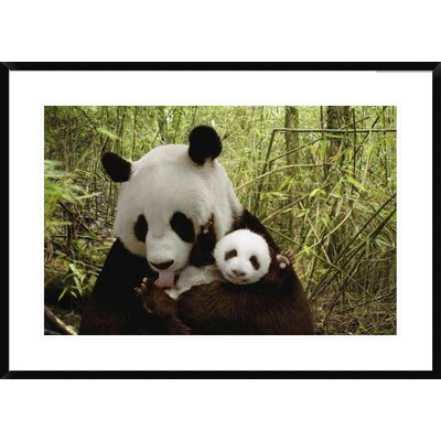 "Giant Panda Gongzhu and Cub in Bamboo Forest, Wolong Nature Reserve, China by Katherine Feng Framed Photographic Print Size: 26"" H x 36"" W x 1.5"" D DPF-395898-2030-266"
