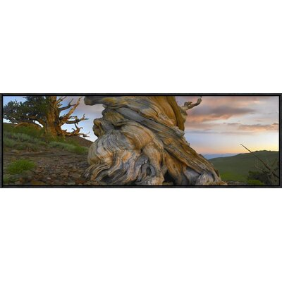 Foxtail Pine Tree, Twisted Trunk of an Ancient Tree, Sierra Nevada, California by Tim Fitzharris Framed Photographic Print on Canvas GCF-452125-1236-175