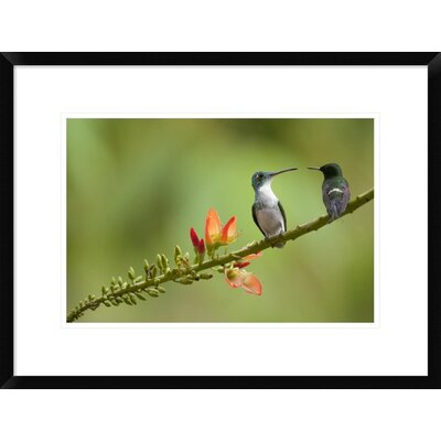 'Andean Emerald with Green Thorntail Female' Framed Photographic Print DPF-395566-1218-266