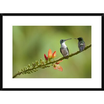 'Andean Emerald with Green Thorntail Female' Framed Photographic Print DPF-395566-1624-266
