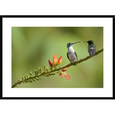 'Andean Emerald with Green Thorntail Female' Framed Photographic Print DPF-395566-2030-266