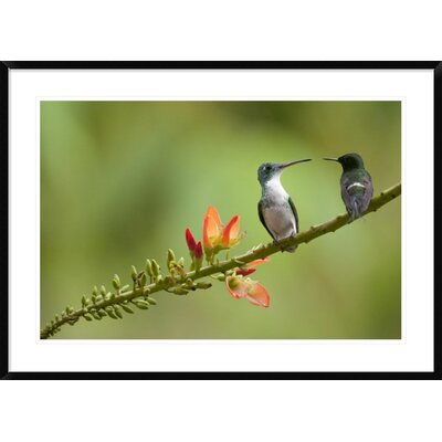'Andean Emerald with Green Thorntail Female' Framed Photographic Print DPF-395566-2436-266