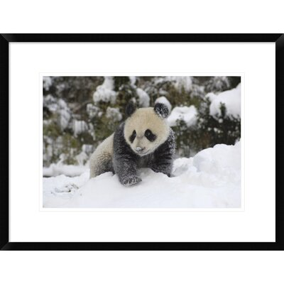 'Giant Panda Cub Playing' Framed Photographic Print DPF-395895-1218-266
