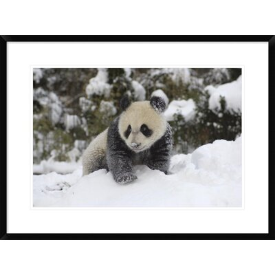 'Giant Panda Cub Playing' Framed Photographic Print DPF-395895-1624-266
