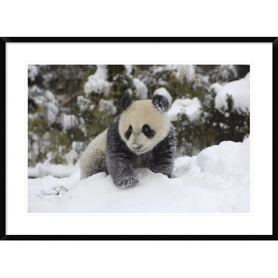 'Giant Panda Cub Playing' Framed Photographic Print DPF-395895-2030-266