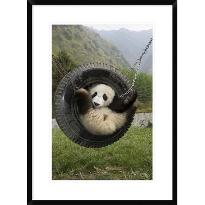 'Giant Panda Cub Playing' Framed Photographic Print DPF-395897-1624-266