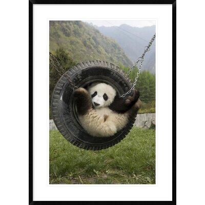 'Giant Panda Cub Playing' Framed Photographic Print DPF-395897-2030-266