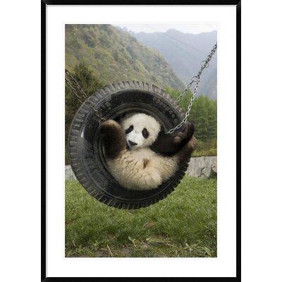 'Giant Panda Cub Playing' Framed Photographic Print DPF-395897-2436-266