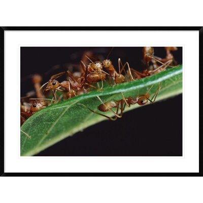 "'Green Tree Ants on Leaf with Ant-Mimicking Jumping Spider Hiding Below, Sri Lanka' Framed Photographic Print Size: 26"" H x 36"" W x 1.5"" D DPF-451003-2030-266 Wall Art"