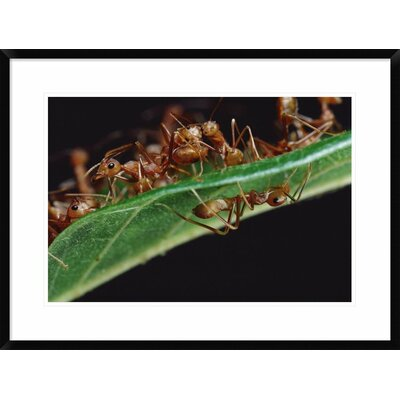 "'Green Tree Ants on Leaf with Ant-Mimicking Jumping Spider Hiding Below, Sri Lanka' Framed Photographic Print Size: 22"" H x 30"" W x 1.5"" D DPF-451003-1624-266 Wall Art"