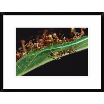 "'Green Tree Ants on Leaf with Ant-Mimicking Jumping Spider Hiding Below, Sri Lanka' Framed Photographic Print Size: 18"" H x 24"" W x 1.5"" D DPF-451003-1218-266 Wall Art"