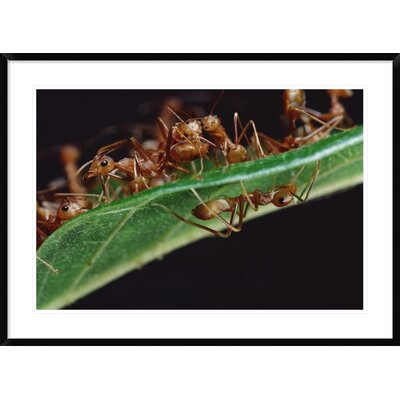 "'Green Tree Ants on Leaf with Ant-Mimicking Jumping Spider Hiding Below, Sri Lanka' Framed Photographic Print Size: 30"" H x 42"" W x 1.5"" D DPF-451003-2436-266 Wall Art"