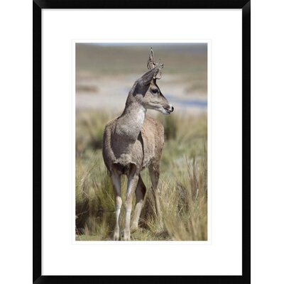 """'North Andean Huemul Buck Shedding Velvet, Pampa Galeras National Reserve, Peru' Framed Photographic Print Size: 24"""" H x 18"""" W x 1.5"""" D DPF-451467-1218-266 Wall Art"""