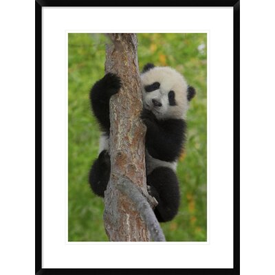 'Giant Panda Cub' Framed Photographic Print DPF-450863-1624-266 Wall Art