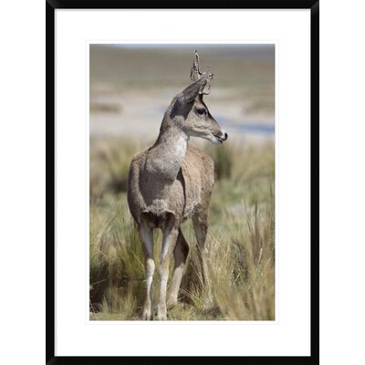 """'North Andean Huemul Buck Shedding Velvet, Pampa Galeras National Reserve, Peru' Framed Photographic Print Size: 30"""" H x 22"""" W x 1.5"""" D DPF-451467-1624-266 Wall Art"""