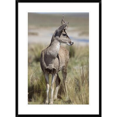 """'North Andean Huemul Buck Shedding Velvet, Pampa Galeras National Reserve, Peru' Framed Photographic Print Size: 36"""" H x 26"""" W x 1.5"""" D DPF-451467-2030-266 Wall Art"""
