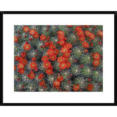 "Claret Cup Cactus Detail of Flowers in Bloom, North America by Tim Fitzharris Framed Photographic Print Size: 24"" H x 30"" W x 1.5"" D DPF-396537-1824-266"
