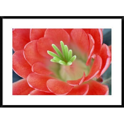 "Claret Cup Cactus Flower, Arizona by Tim Fitzharris Framed Photographic Print Size: 26"" H x 36"" W x 1.5"" D DPF-396007-2030-266"