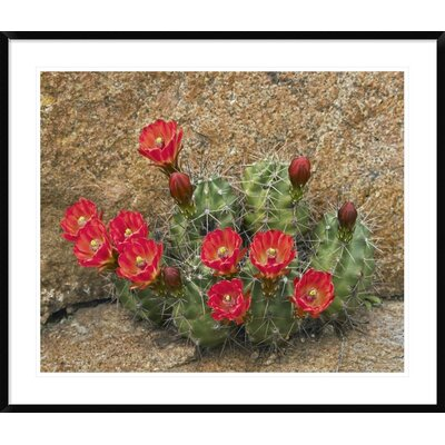 "Claret Cup Cactus Flowering, Utah by Tim Fitzharris Framed Photographic Print Size: 35.88"" H x 42"" W x 1.5"" D DPF-396008-36-266"