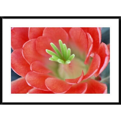 "Claret Cup Cactus Flower, Arizona by Tim Fitzharris Framed Photographic Print Size: 30"" H x 42"" W x 1.5"" D DPF-396007-2436-266"