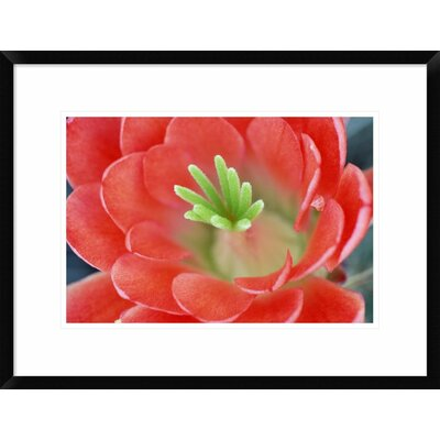 "Claret Cup Cactus Flower, Arizona by Tim Fitzharris Framed Photographic Print Size: 18"" H x 24"" W x 1.5"" D DPF-396007-1218-266"