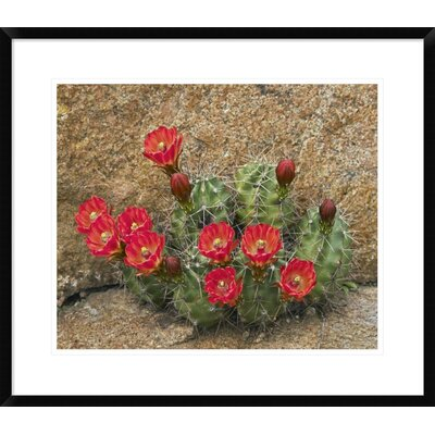 "Claret Cup Cactus Flowering, Utah by Tim Fitzharris Framed Photographic Print Size: 24.26"" H x 28"" W x 1.5"" D DPF-396008-22-266"