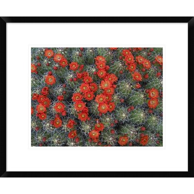 "Claret Cup Cactus Detail of Flowers in Bloom, North America by Tim Fitzharris Framed Photographic Print Size: 18"" H x 22"" W x 1.5"" D DPF-396537-1216-266"