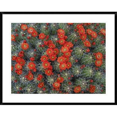 "Claret Cup Cactus Detail of Flowers in Bloom, North America by Tim Fitzharris Framed Photographic Print Size: 30"" H x 38"" W x 1.5"" D DPF-396537-2432-266"