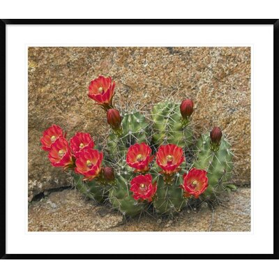 "Claret Cup Cactus Flowering, Utah by Tim Fitzharris Framed Photographic Print Size: 30.9"" H x 36"" W x 1.5"" D DPF-396008-30-266"